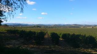 Les vignes au Glamping at Montazellis à Alignan du Vent en Languedoc-Roussillon