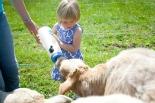 Enfant nourri veau au glamping Un lit au Pré à La Ferme de La Folivraie à Louvières en Basse-Normandie