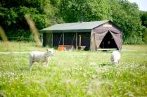 Tente avec moutons au glamping Un lit au Pré à La Ferme de la Moricière à Sartilly en Basse-Normandie