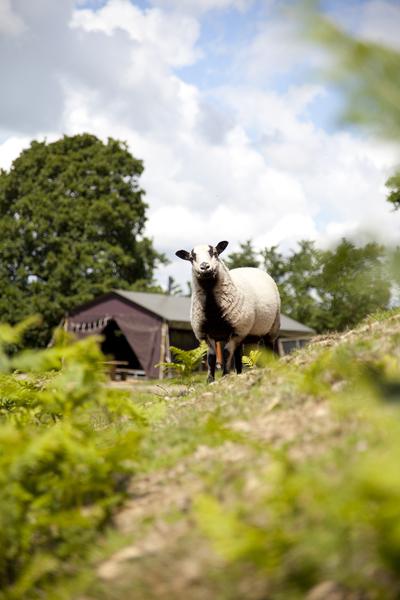 Tente et mouton au glamping Un lit au Pré à La Ferme de Penquelen Huella à Scaër en Bretagne
