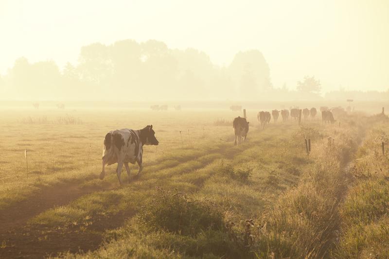 Vaches à l'aube au glamping Un lit au Pré à La Ferme des Champeaux à Saint-Amand-le-Petit en Limousin